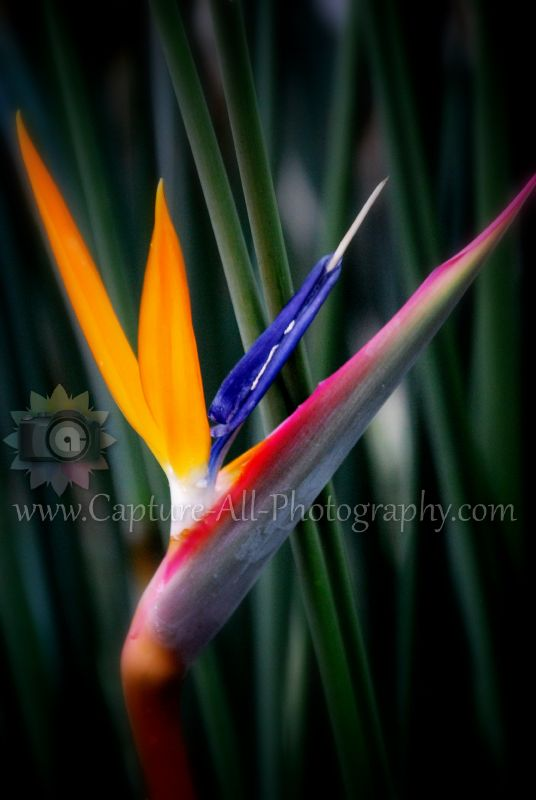 Bird-of-Paradise-Flower-so-pretty-wallpaper-wp4003554