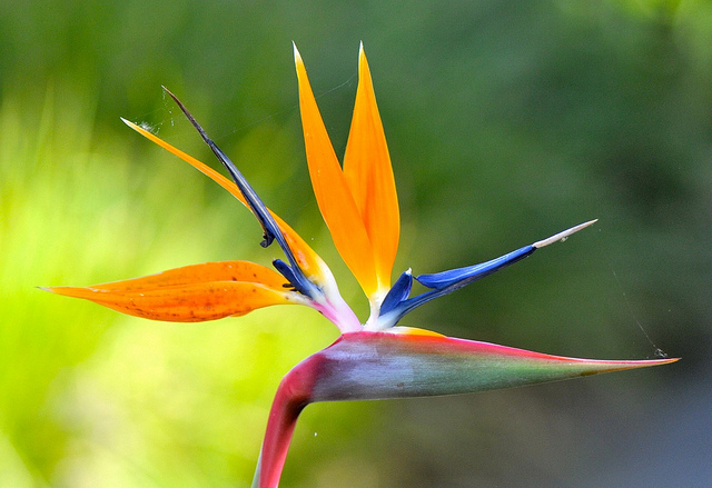Bird-of-Paradise-Flower-wallpaper-wp400531