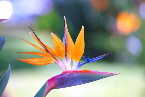 Bird-of-Paradise-Flower-wallpaper-wp400751