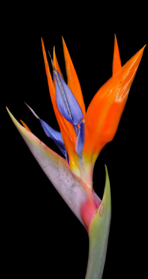 Bird-of-paradise-flower-strelitzia-regina-wallpaper-wp4003555