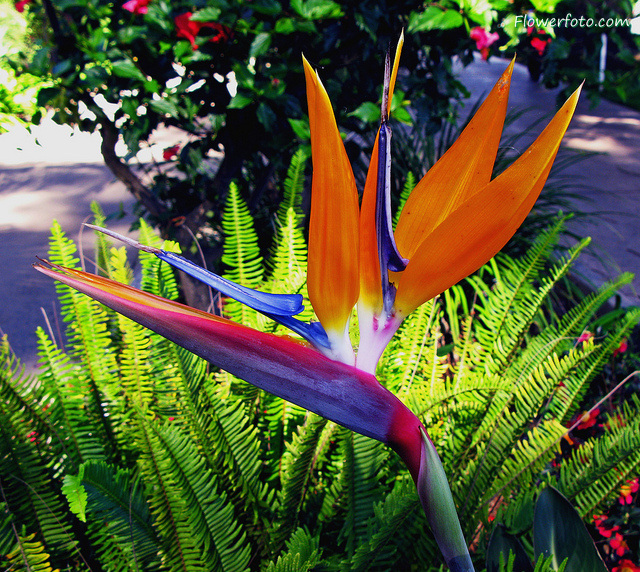 Bird-of-paradise-flower-wallpaper-wp400121