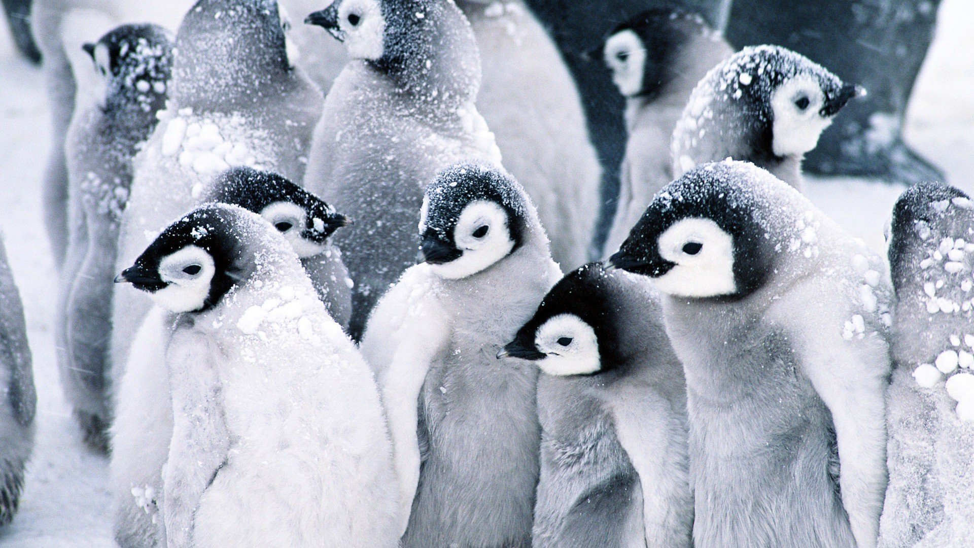 Birds-animals-penguins-1920x1080-UP-wallpaper-wp3403253