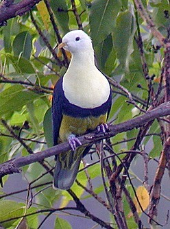 Black-backed-Fruit-Dove-Bali-Lesser-Sunda-Islands-Arnhem-Land-Australia-wallpaper-wp6002376