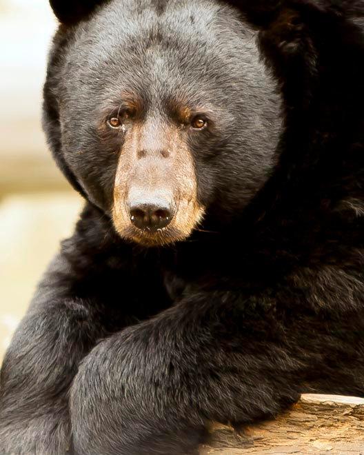 Black-bear-animal-wallpaper-wp4604273-1