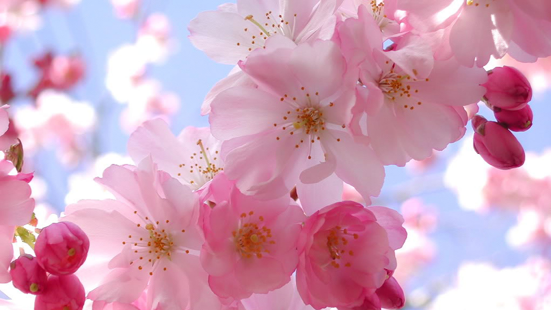 Blooming-Pink-Cherry-Blossom-Pink-Color-Fanpop-wallpaper-wp3403377