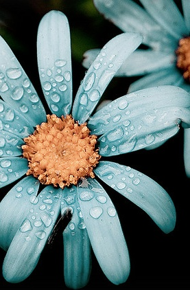 Blue-Daisy-After-the-Rain-wallpaper-wp5603484