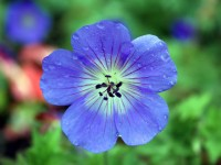 Blue-Geranium-wallpaper-wp5804113