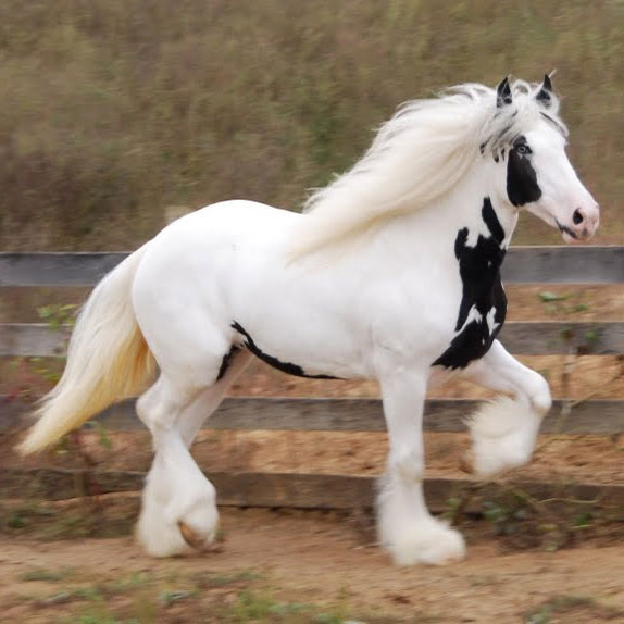 Blue-Girl-Gypsy-Vanners-aka-Gypsy-Cobs-or-Irish-Cobs-are-the-most-gorgeous-animals-on-four-legs-wallpaper-wp5005344