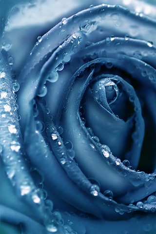 Blue-Rose-Close-up-wallpaper-wp5603491