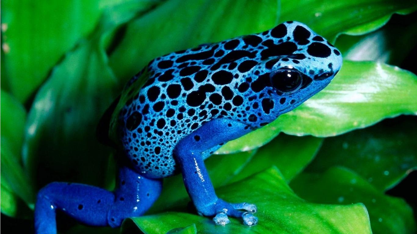 Blue-frog-wallpaper-wp4003600