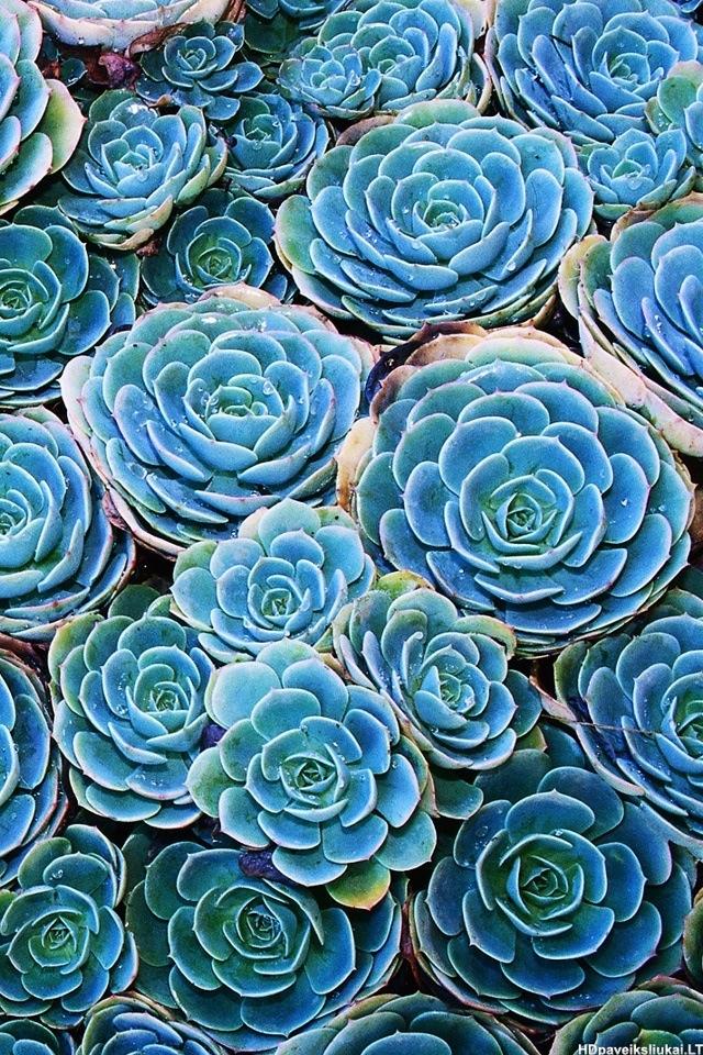 Blue-roses-wallpaper-wp424166-1