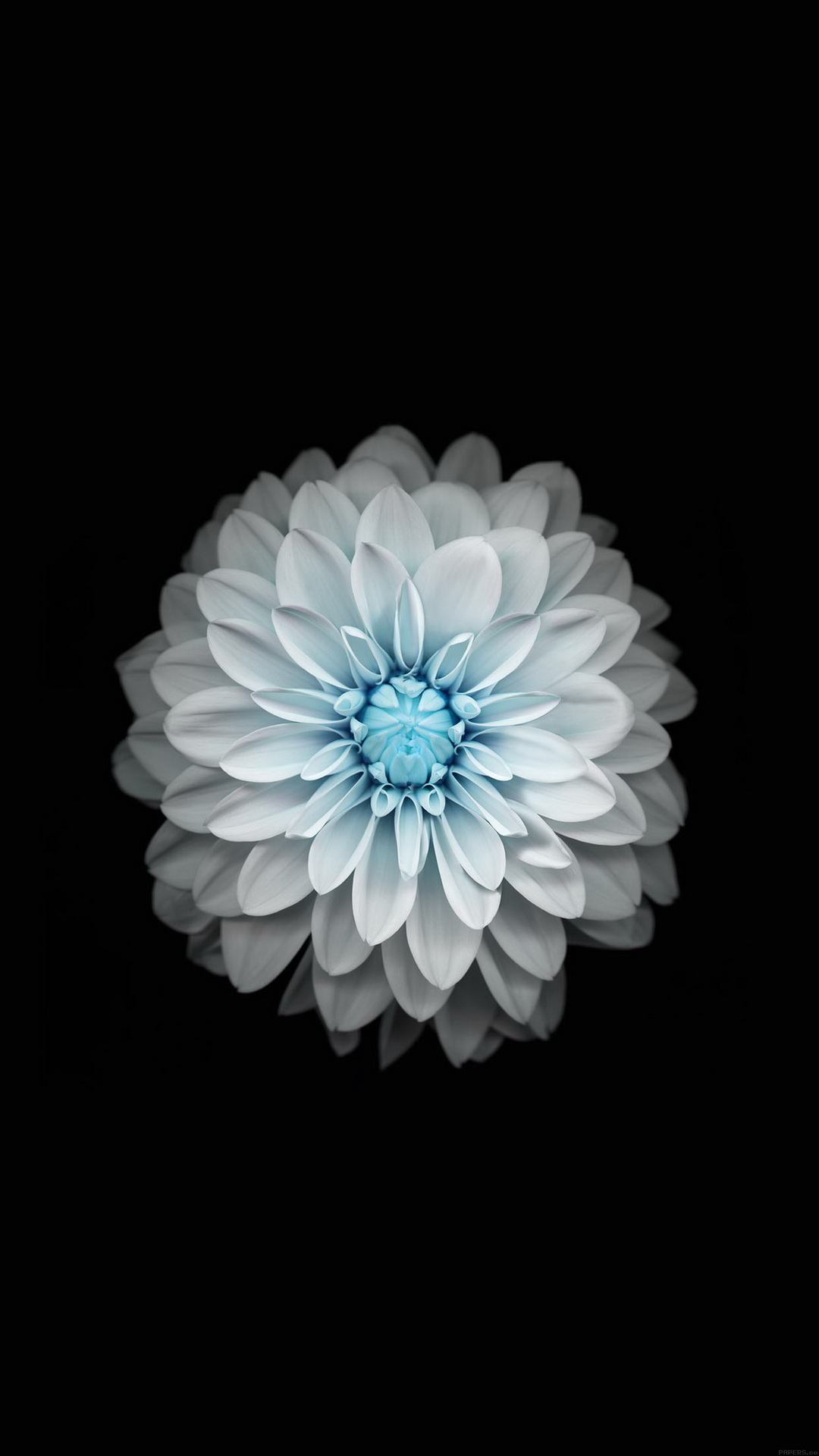 Blue-white-lotus-wallpaper-wp4604341