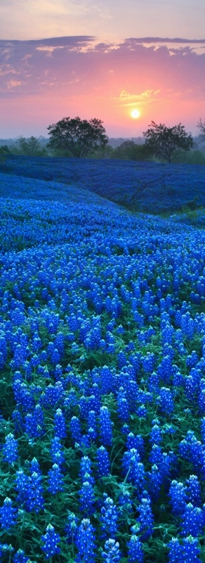 Bluebonnet-Field-in-Ellis-County-Texas-wallpaper-wp4405236