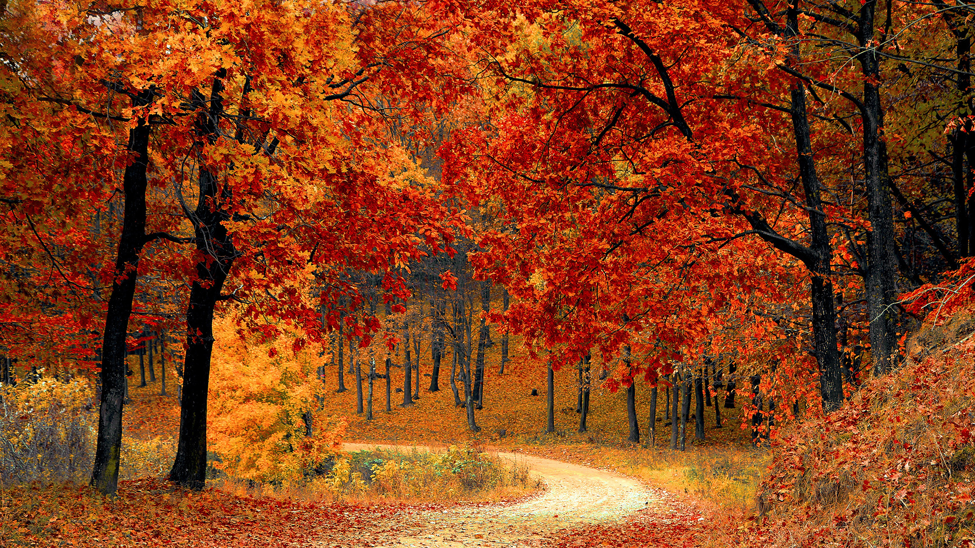 Breathtaking-fiery-forest-in-Fall-season-1920x1080-wallpaper-wp3403500