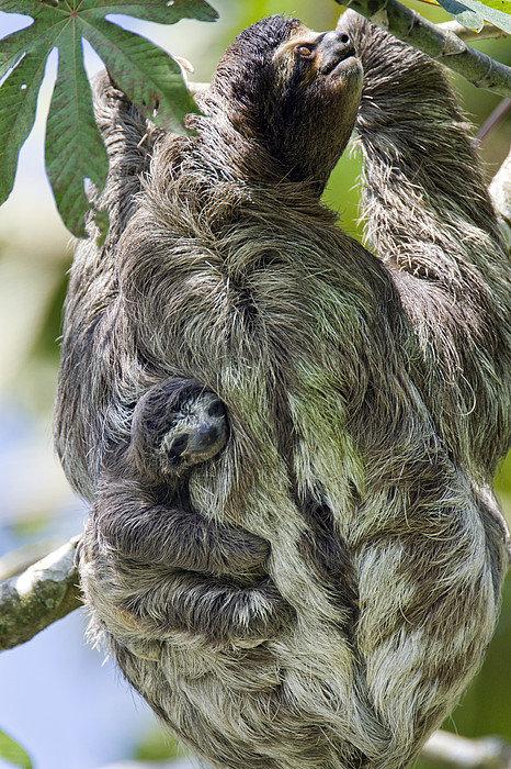 Brown-throated-Three-toed-Sloth-Print-By-Suzi-Eszterhas-wallpaper-wp424263