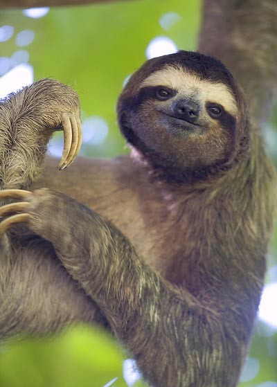 Brown-throated-three-toed-sloth-by-Milo-Burcham-wallpaper-wp424262