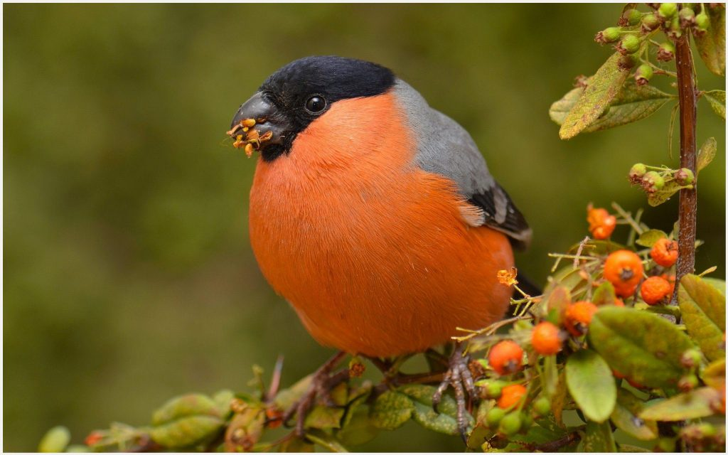 Bullfinch-Orange-Bird-bullfinch-orange-bird-1080p-bullfinch-orange-bird-wallp-wallpaper-wp3603747