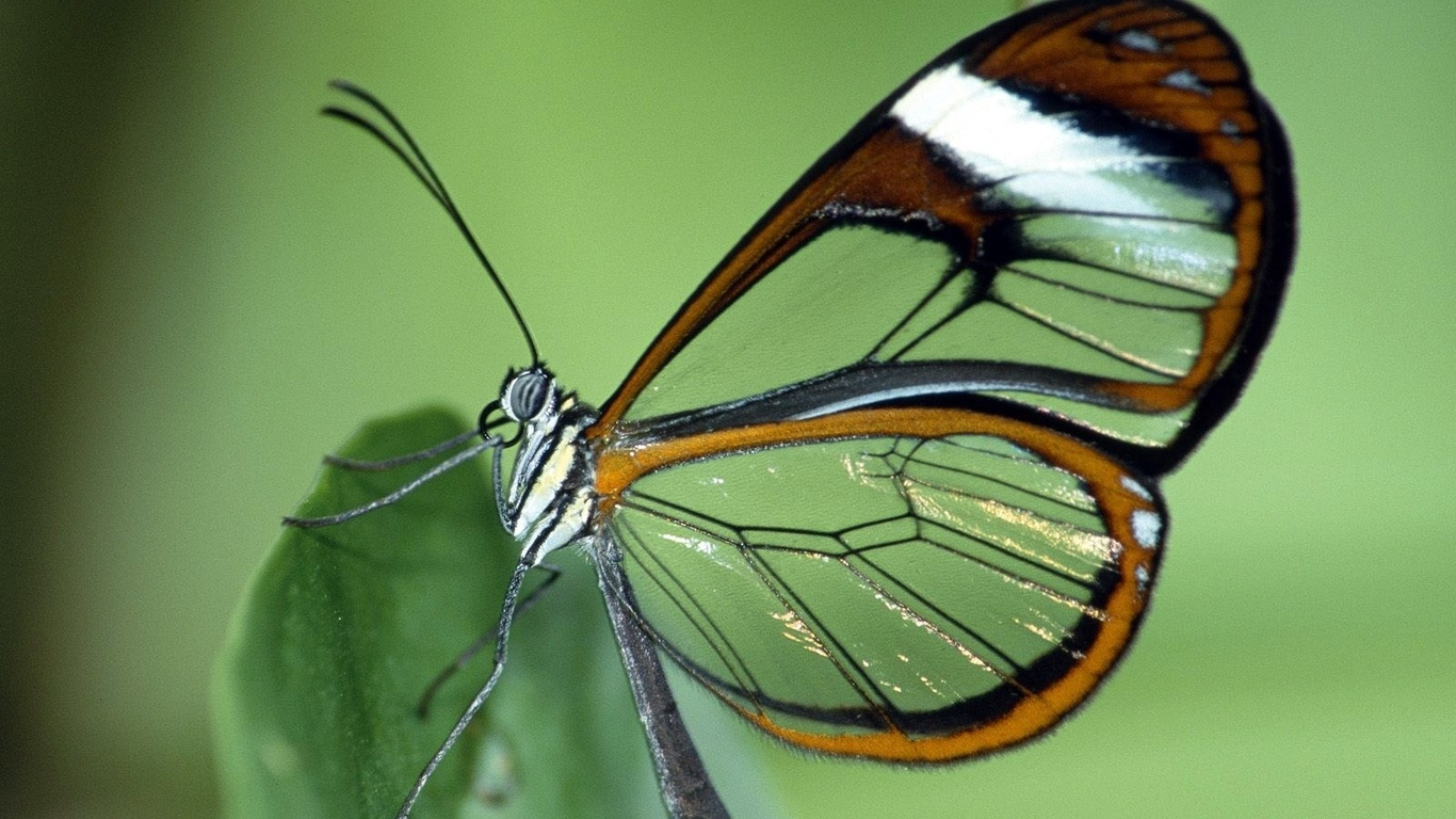 Butterfly-transparent-wings-insect-nature-green-wallpaper-wp4003739