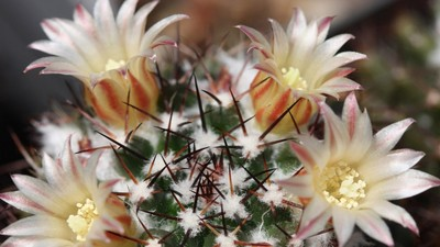 Cactus-flowers-wallpaper-wp3603819