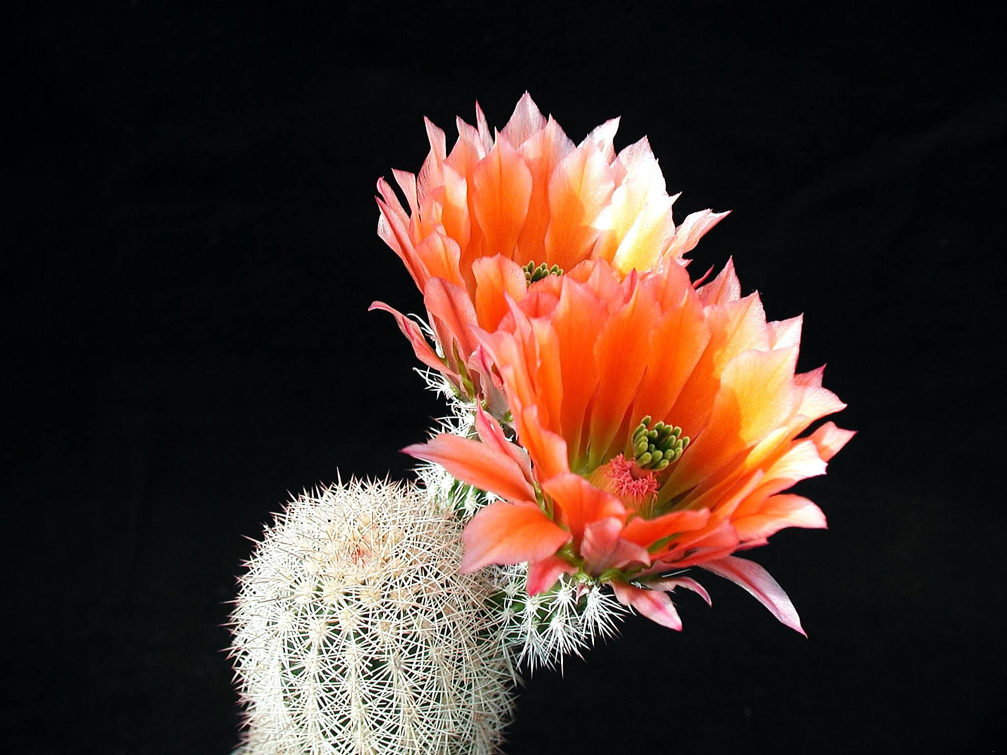 Cactus-with-Flowers-wallpaper-wp5804372