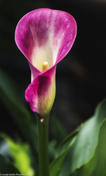 Calla-Lily-wallpaper-wp560106