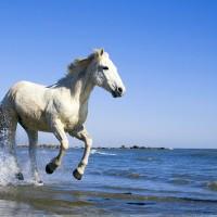 Camargue-White-Horse-Running-Near-Sea-wallpaper-wp5204988