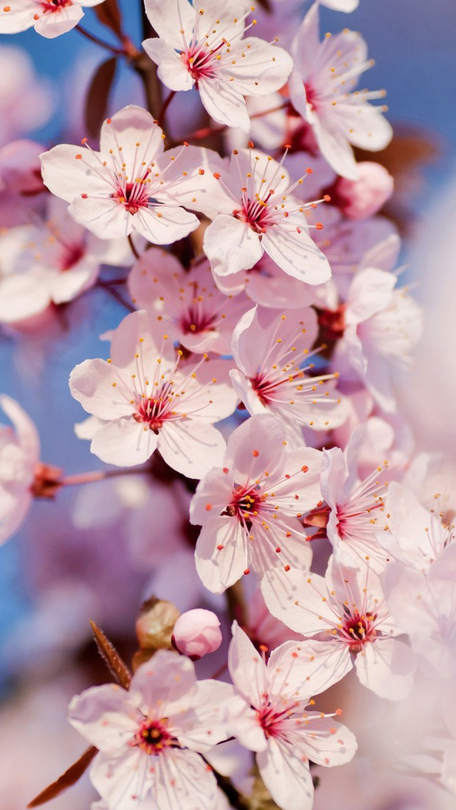 Cherry-Blossom-cell-phone-Cherry-Blossom-iPhone-jpg-wallpaper-wp5804522