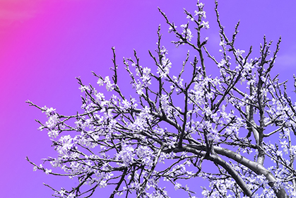 Cherry-Tree-on-Purple-wallpaper-wp5404046