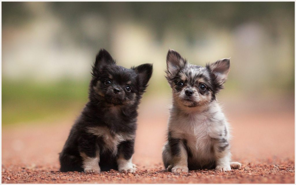 Chihuahuas-Cute-Puppies-chihuahuas-cute-puppies-1080p-chihuahuas-cute-puppies-wallpaper-wp3403881