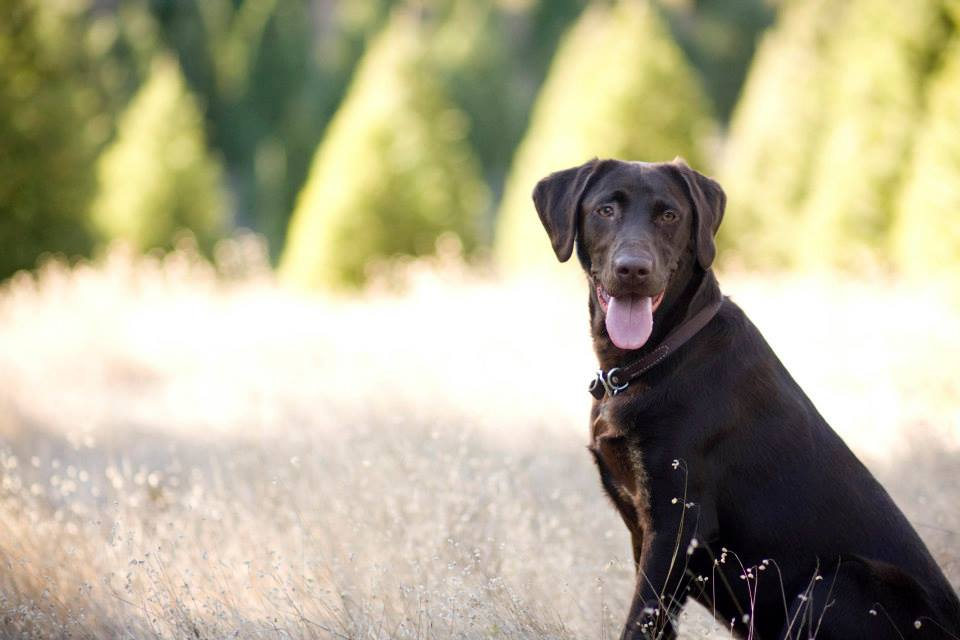 Chocolate-Lab-Melissa-Gray-Photography-wallpaper-wp5205175