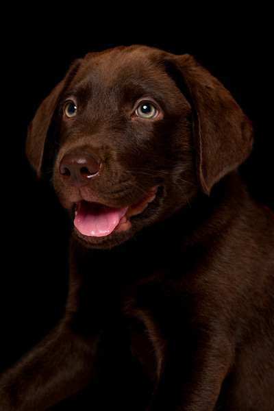 Chocolate-Lab-wallpaper-wp520858