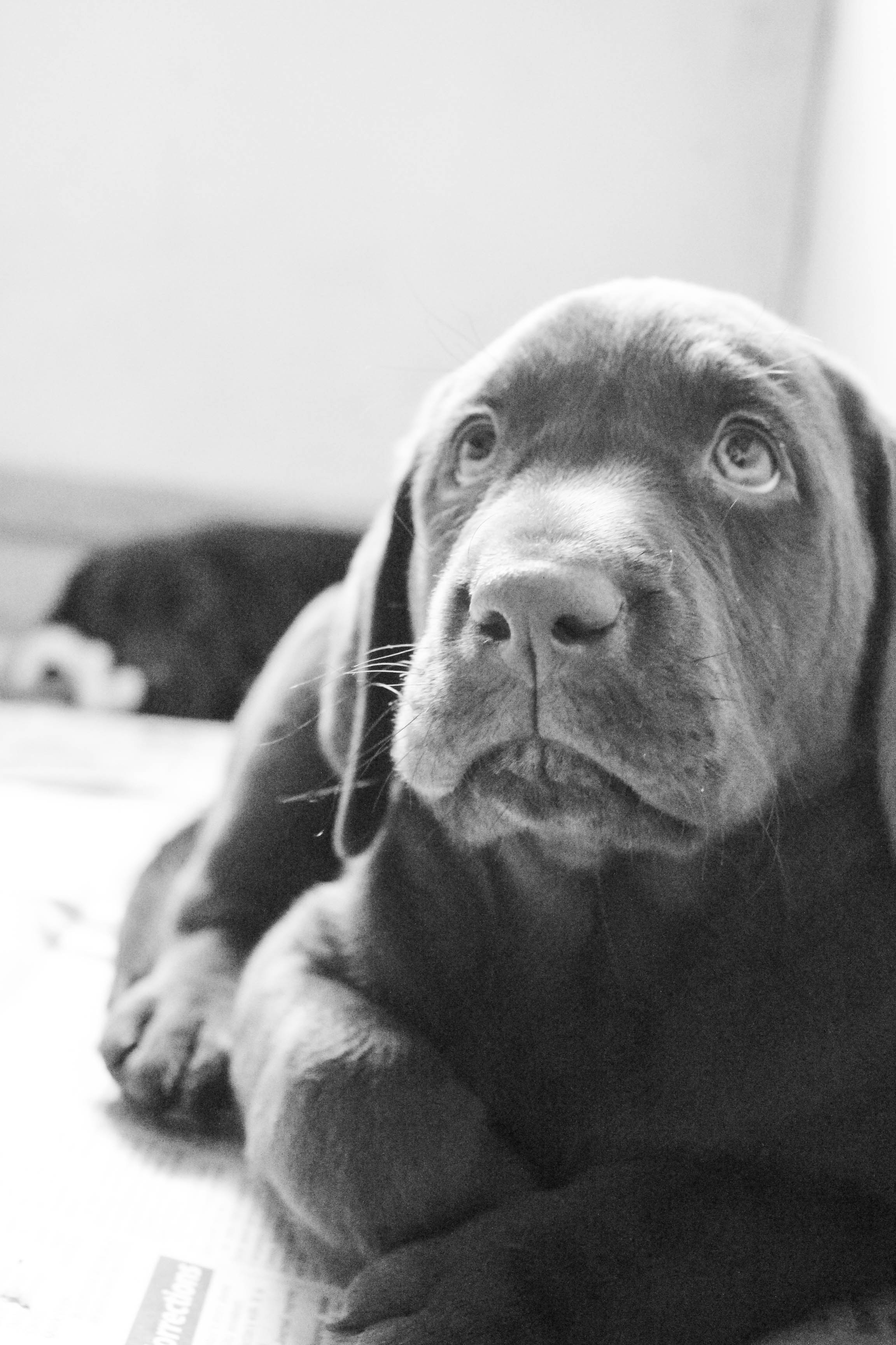 Chocolate-lab-puppy-I-want-one-wallpaper-wp5205176