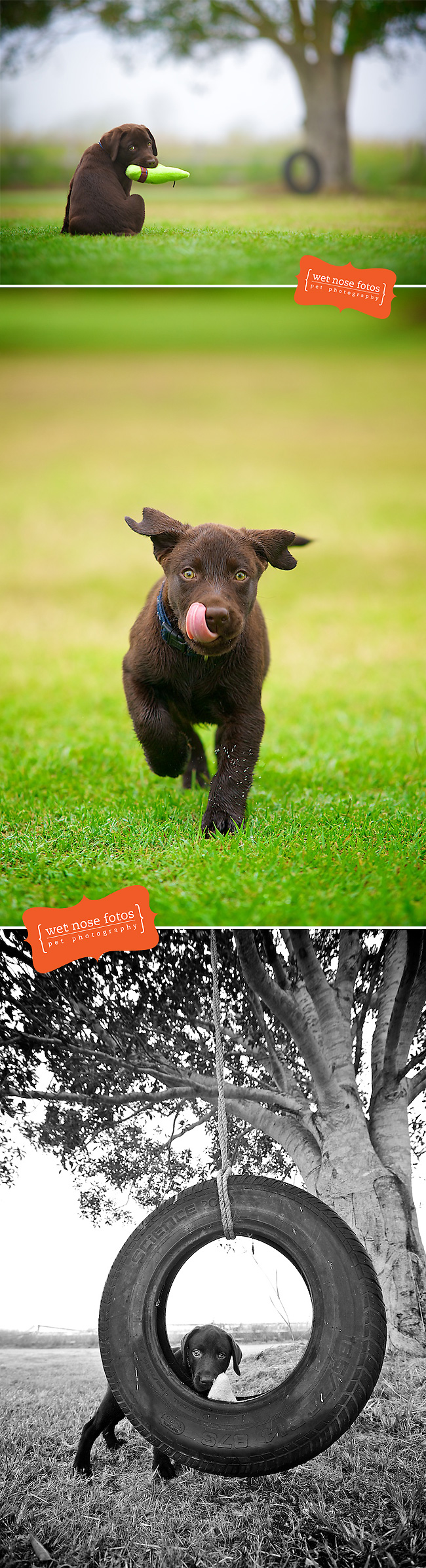 Chocolate-labrador-puppy-in-lush-green-grass-by-Shannon-Plummer-for-Wet-Nose-Fotos-pet-photography-wallpaper-wp5205180
