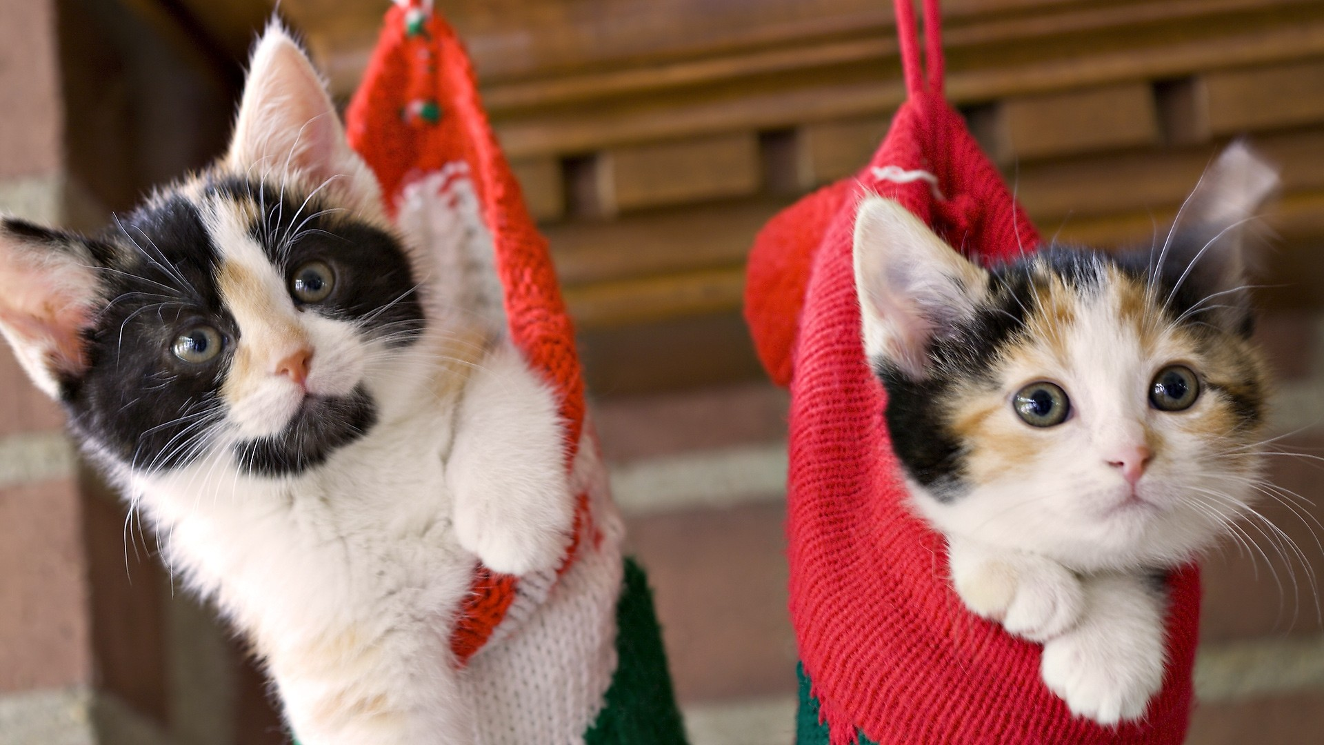 Christmas-cats-«-Why-Evolution-Is-True-wallpaper-wp3403897