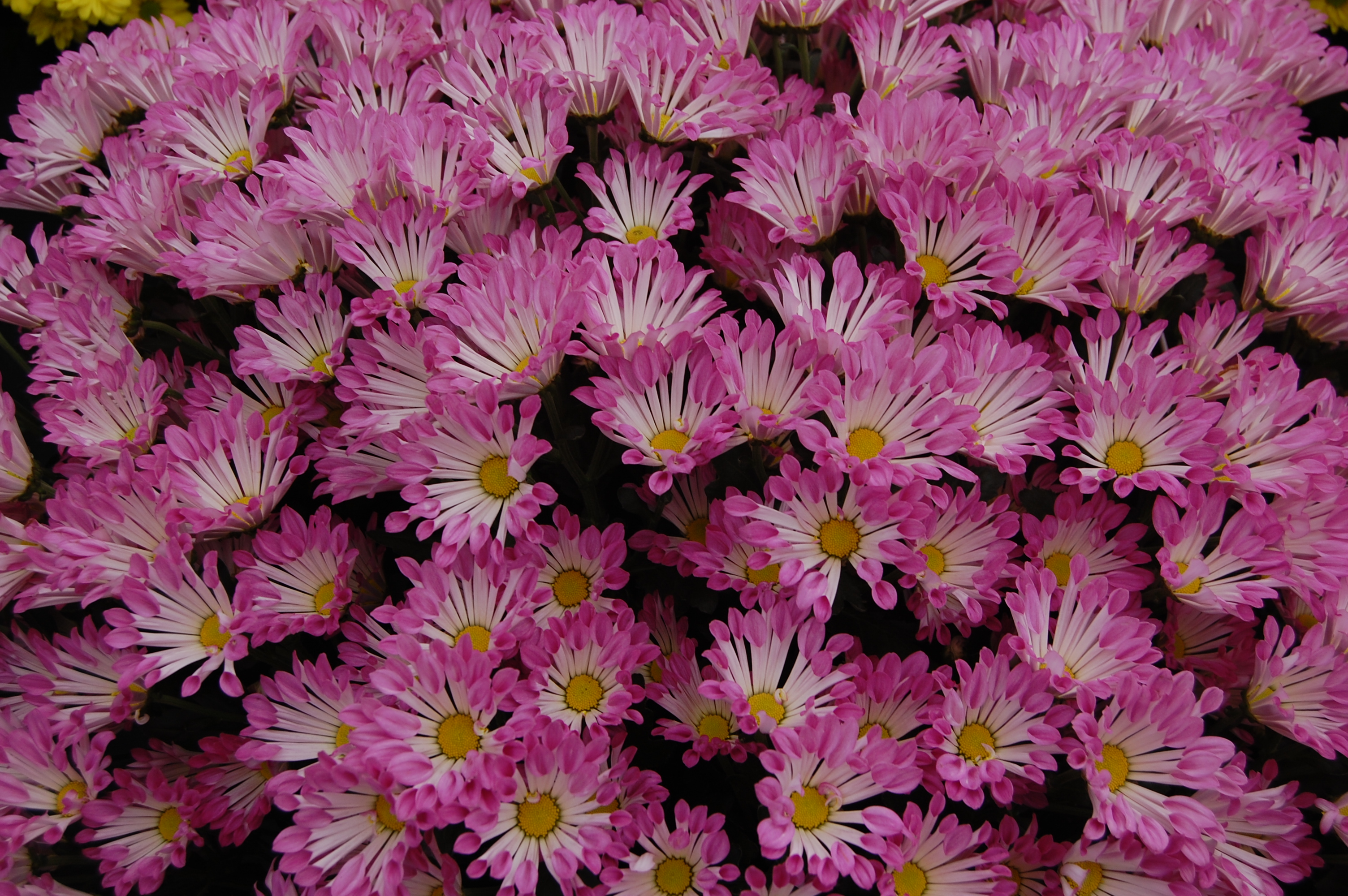 Chrysanthemum-Flowers-wallpaper-wp5804593