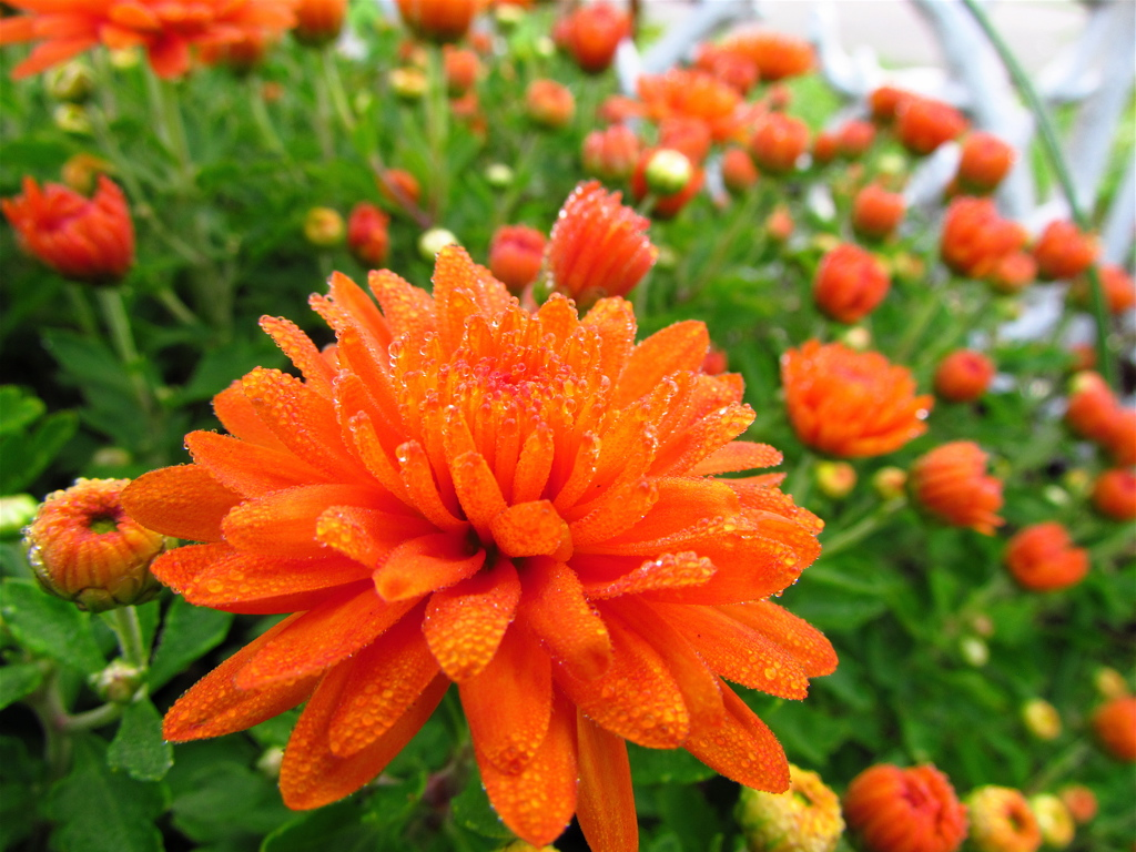 Chrysanthemums-wallpaper-wp5804595