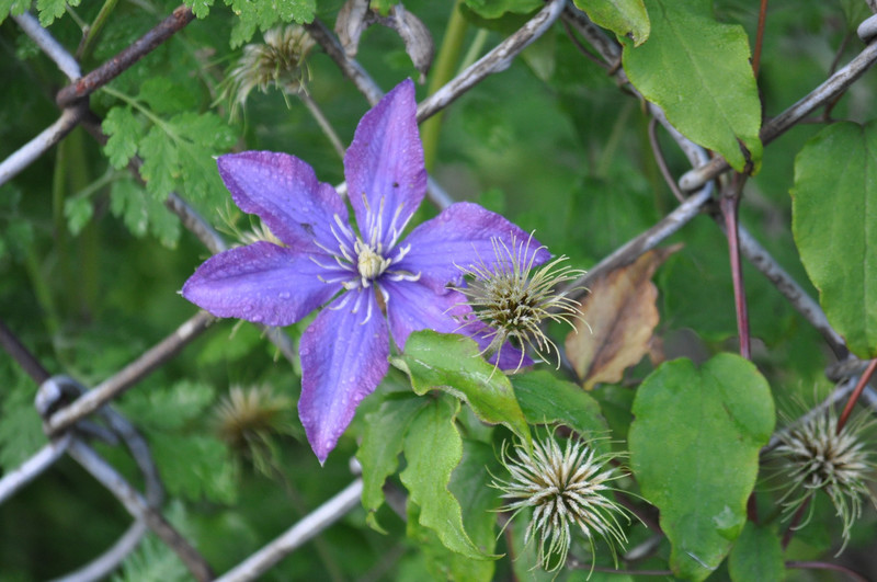 Clematis-Hanging-Out-Fresh-Meadows-NY-wallpaper-wp5603933