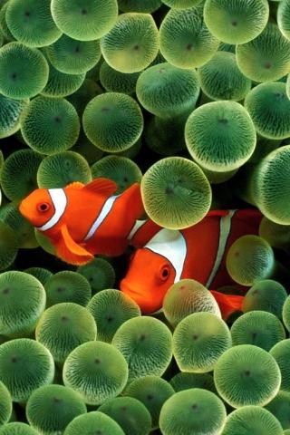 Clown-Fish-http-www-funshare-mobi-free-mobile-iphone-iphone-clown-fish-wallpaper-wp5205303