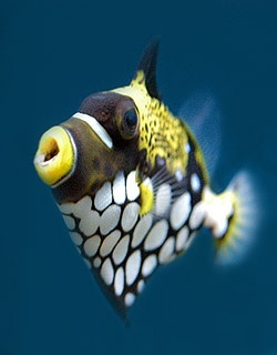 Clown-Trigger-Fish-Incredible-masterpiece-of-art-Amazing-nature-images-wallpaper-wp4405855