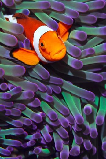 Clownfish-wallpaper-wp5205306