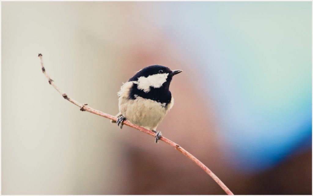 Coal-Tit-Beautiful-Bird-coal-tit-beautiful-bird-1080p-coal-tit-beautiful-bird-wallpaper-wp3604147