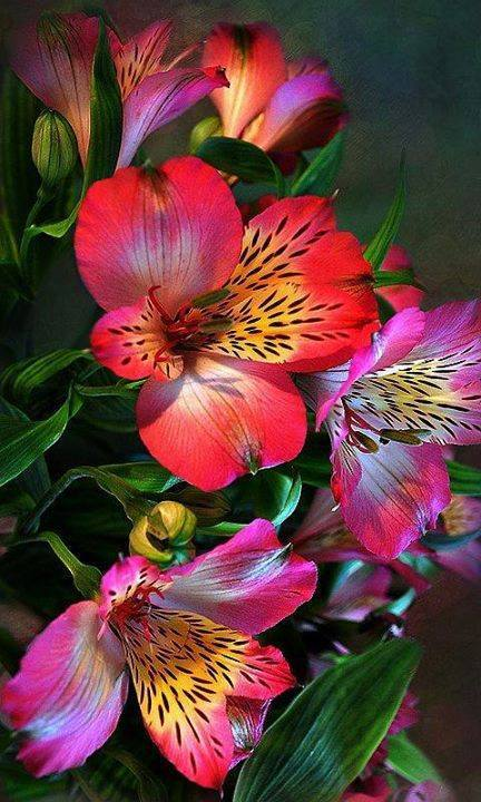 Colorful-Alstroemeria-wallpaper-wp5804664