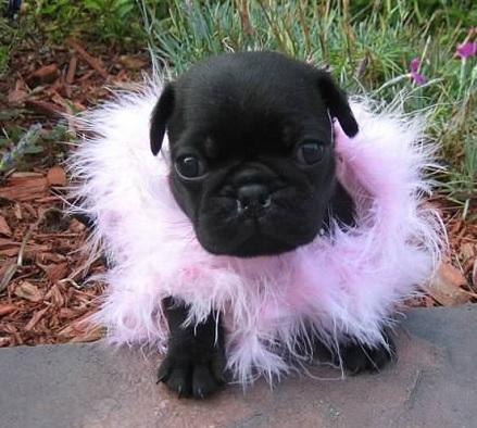 Cute Black Pug Puppy Wallpaper Wp4805629