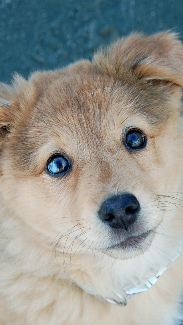 Cute-Puppy-Dog-Poor-Eyes-iPhone-s-wallpaper-wp424783