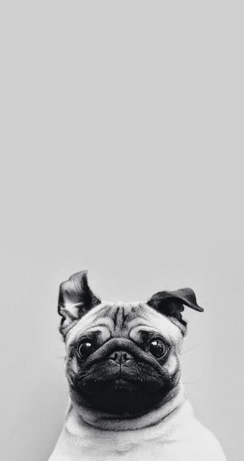Cute-pug-Tap-for-see-Collection-of-Cute-Pug-Dog-HD-Wallpapers-@mobile-Wallpapers-for-iPhone-wallpaper-wp4805653