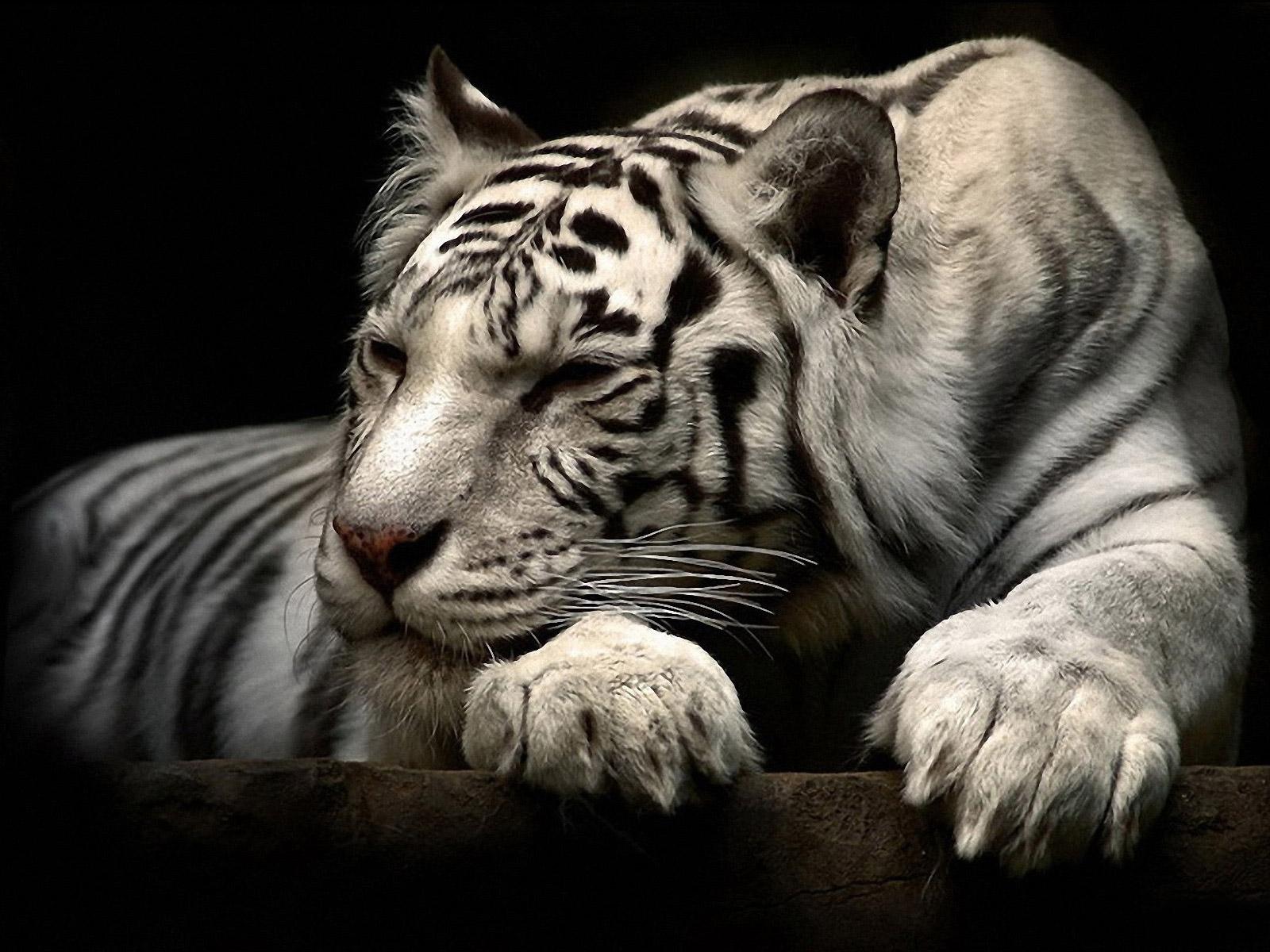 D-White-Tiger-wallpaper-wp400927-1