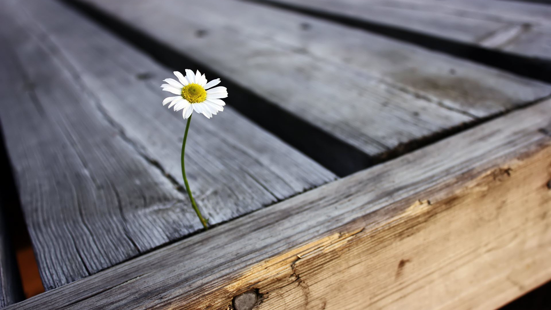 Daisy-in-a-cracked-wood-panel-wallpaper-wp3404409