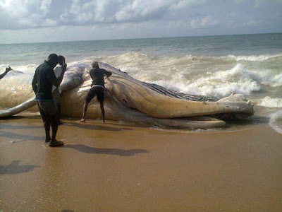Dead-Whale-Like-Creature-Washes-Up-on-Alpha-Beach-wallpaper-wp3004865