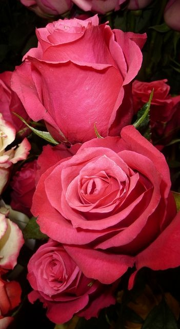 Deep-pink-roses-wallpaper-wp5604309