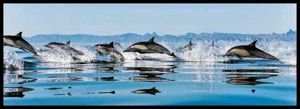 Dolphins-Gulf-of-California-pag-Controlla-su-http-www-zenoarte-com-stampe-poster-roma-i-form-wallpaper-wp3404740